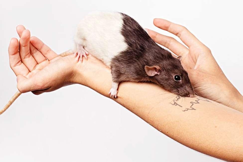 A New York cresce la comunità che adotta topi in casa: sono nate anche le baby sitter per i topi