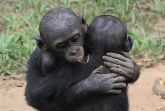 bonobo, scimmia
