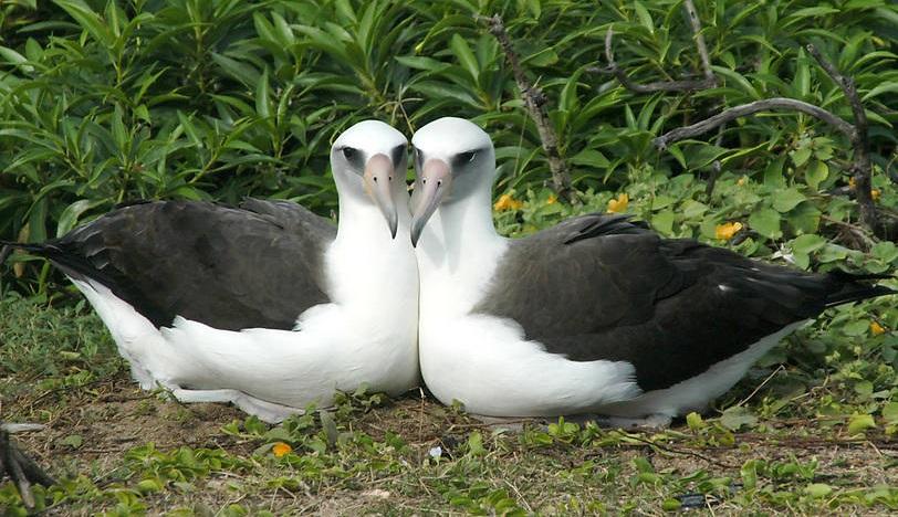 albatri di Laysan, animali