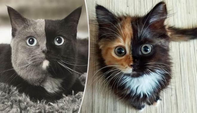 Tutti Pazzi Per Il Gatto Chimera Lanomalia Genetica Che Rende