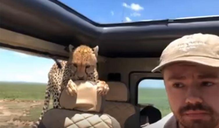 africa, safari, ghepardo