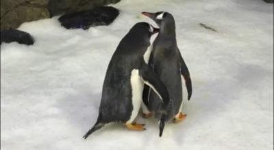 pinguini gay zoo
