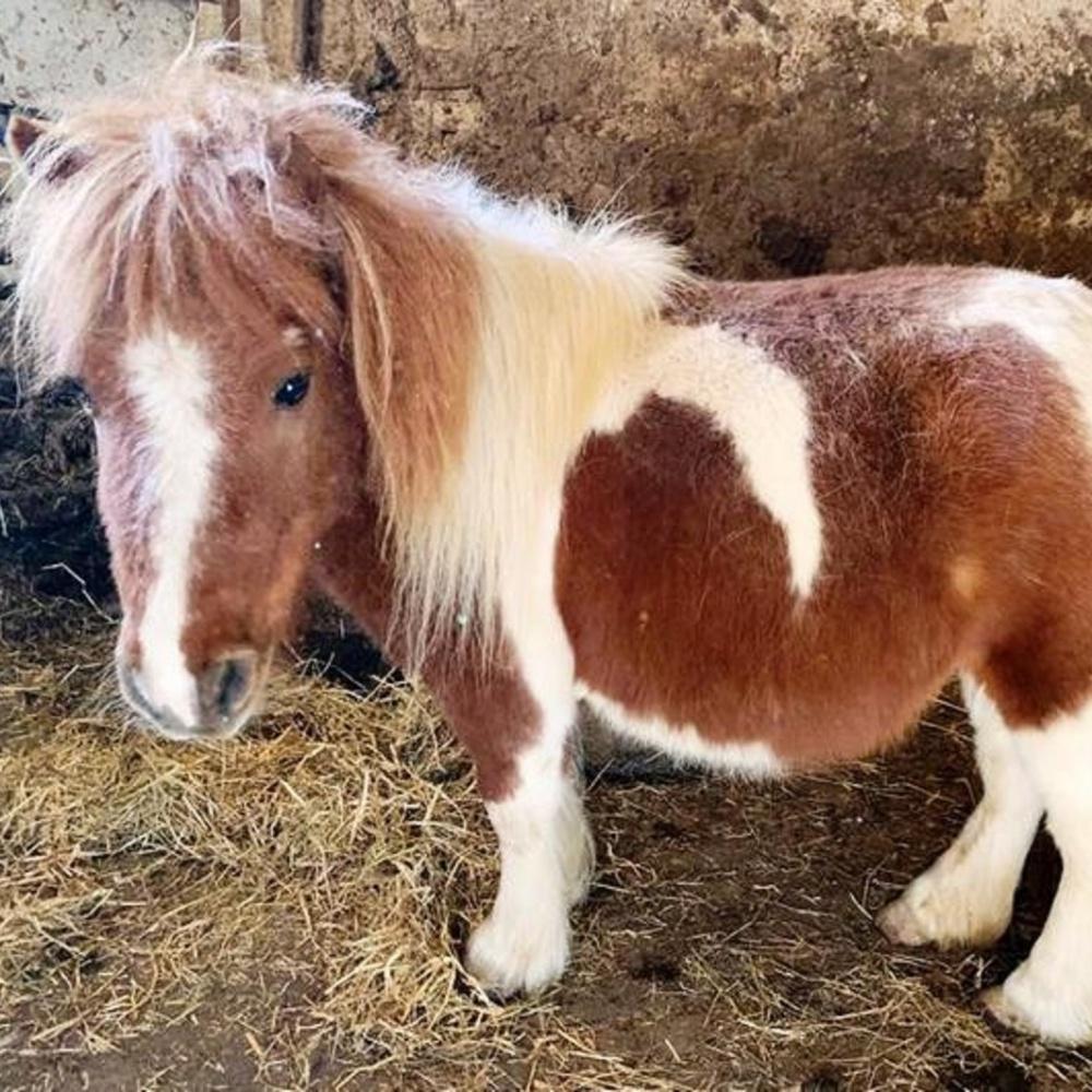 pony-abbandonato-in-tangenziale-